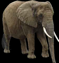 Ivory tusks are actually massive teeth that protrude well beyond the mouths of elephants. Much of the tusk is made up of dentine, a hard, dense, bony tissue. And the whole tusk is wrapped in enamel, the hardest animal tissue and the part of the tusk that manages the most wear and tear.